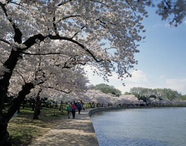 Cherry Blossoms at the Tidal Basin, Washington D.C.